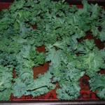 DSC 6920 150x150 Pick of the Week: Kale