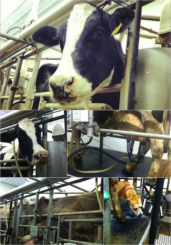 dairy2